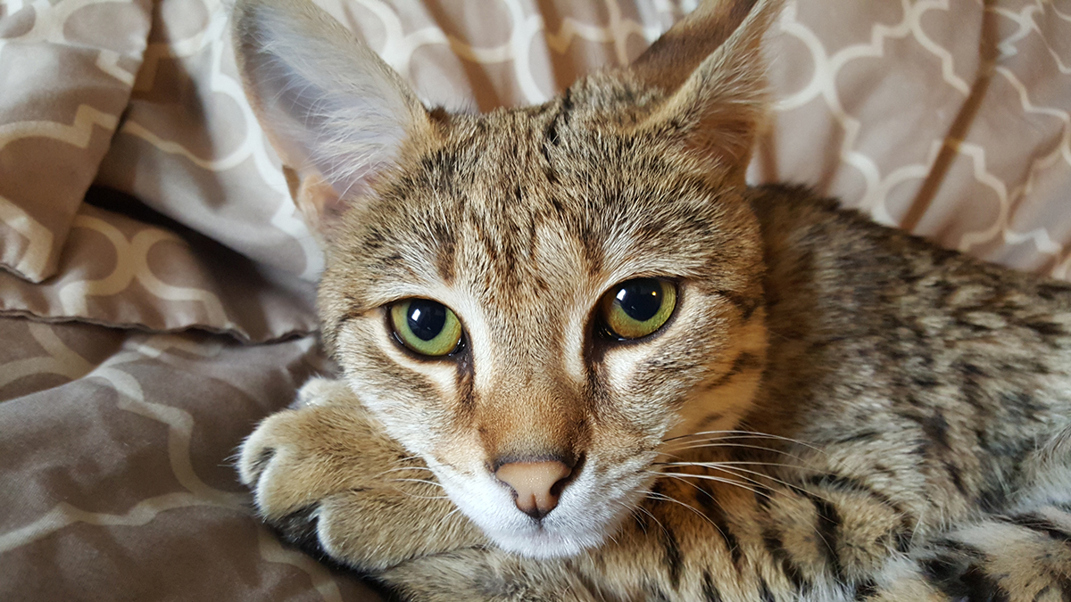 f2 savannah cat kitten ontario canada
