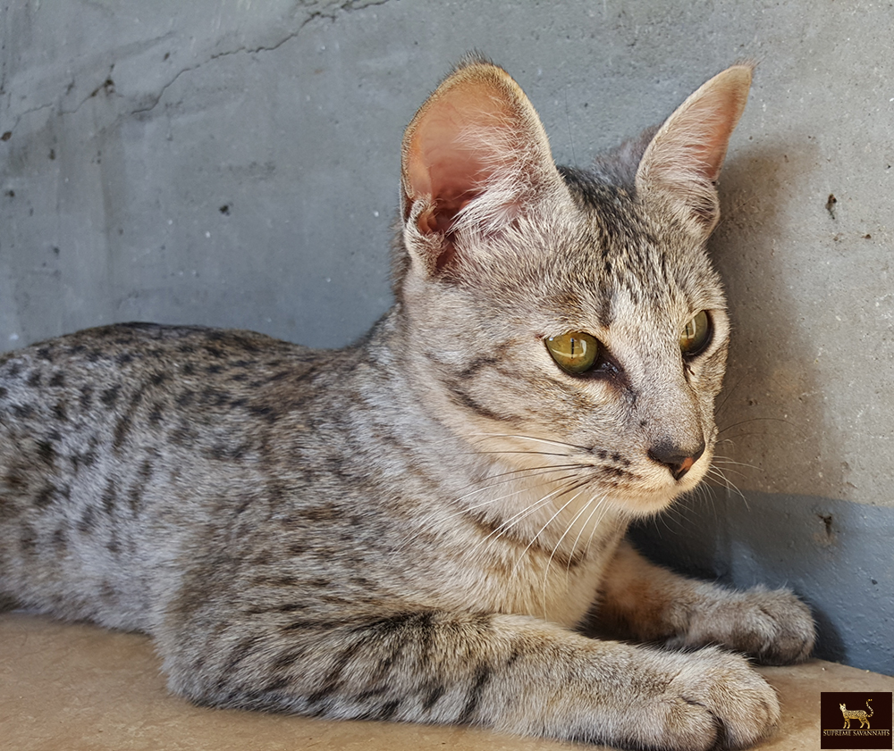 Supreme Savannahs - f1 f2 f3 f4 f5 savannah kittens ontario canada ...