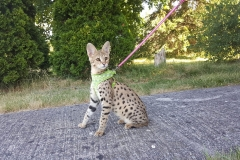 Supreme Golden Brown F1 Savannah Cat Kitten ontario canada available