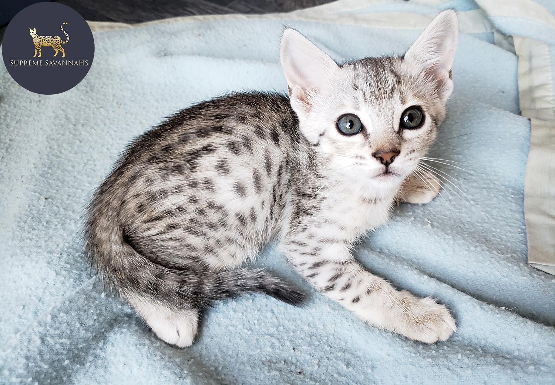 savannah cat canada