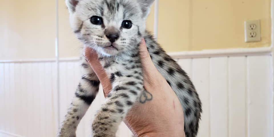 Silver F2 Savannah Cat Kitten ontario canada supreme serval f1 f3 f4 f5 f6 breeder available shipping worldwide cites