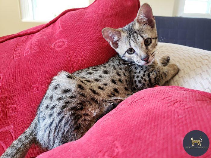 F2 Savannah kitten serval ontario canada f1 f3 f4 f5 f6 sbt
