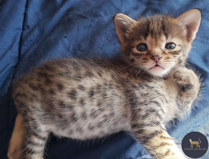 F2 Silver Savannah male Kitten ontario Canada Breeder serval